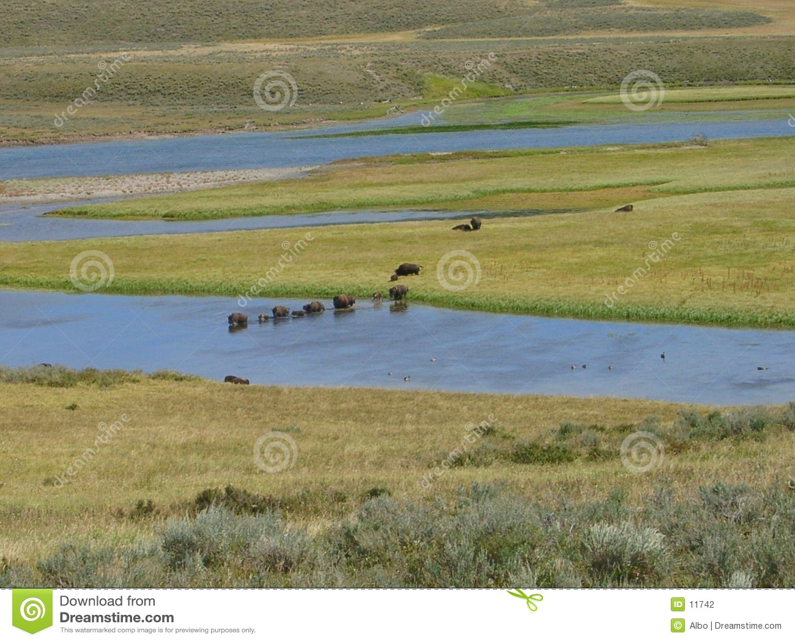 буйволы yellowstone