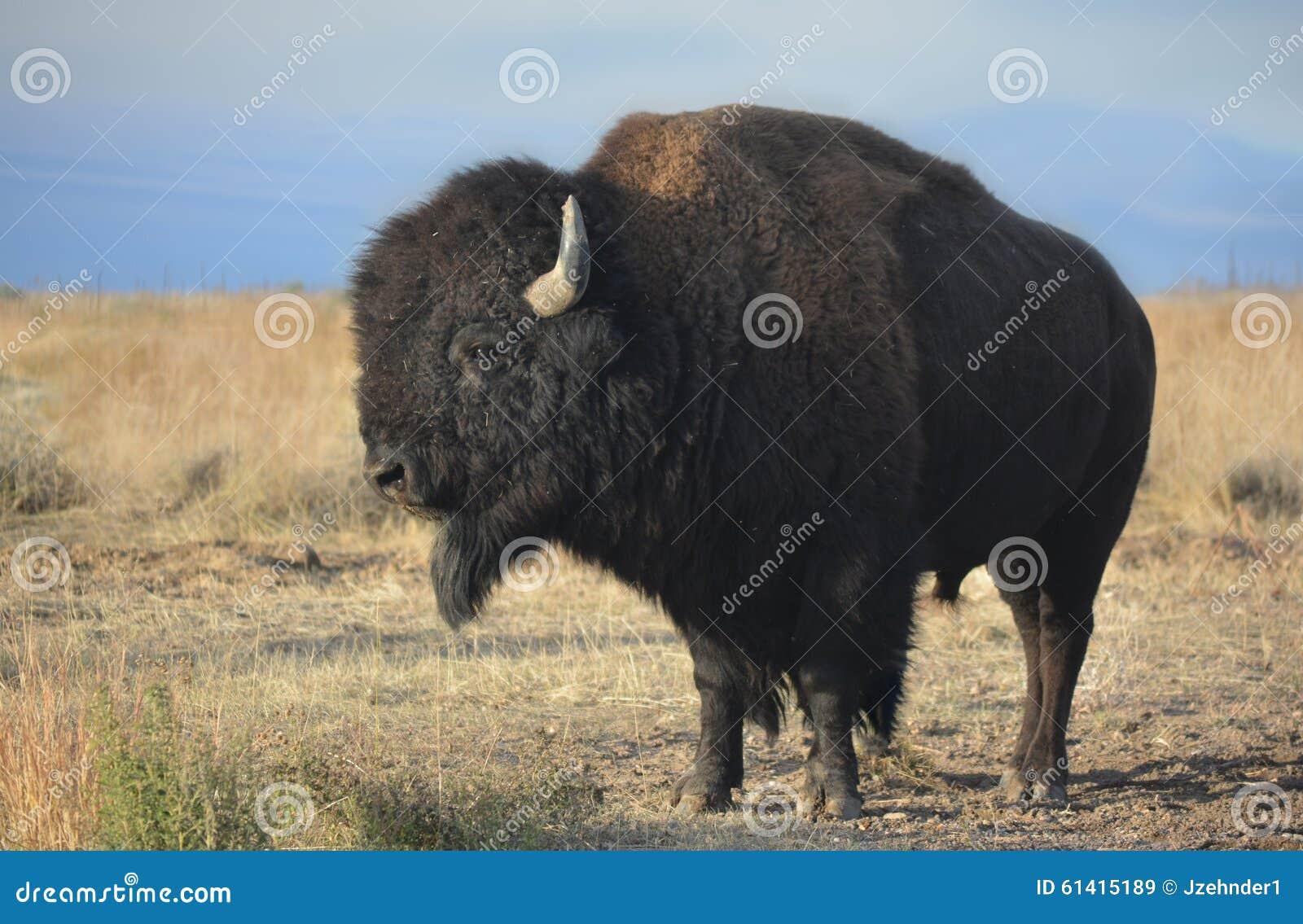 Буйвол американского бизона в профиле на прерии