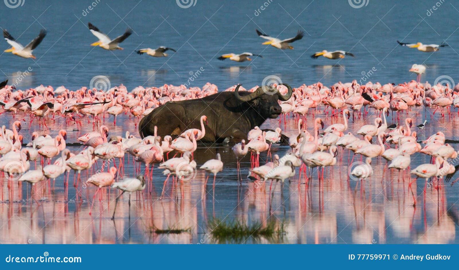 Буйвол лежа в воде на предпосылке больших стад фламинго Кения вышесказанного Национальный парк Nakuru Озеро Bogoria Nationa