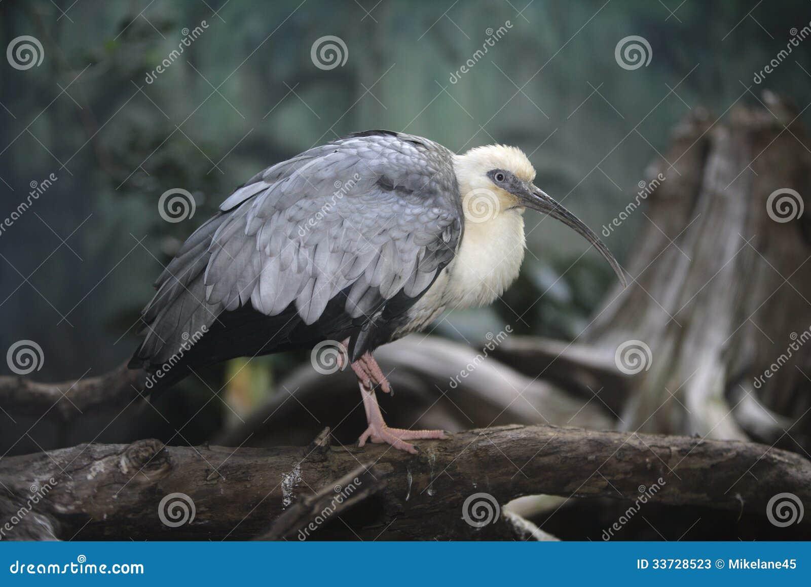 Буйволовая кожа-necked ibis, caudatus Theristicus