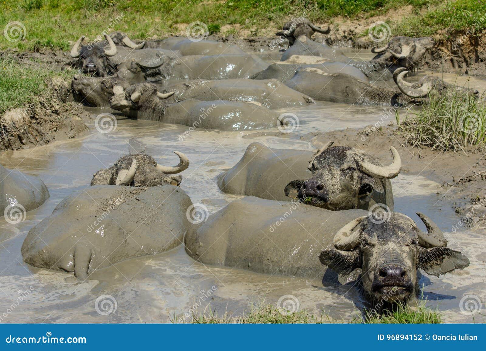 Буйволы в грязи от деревни Bazna, Sibiu County, Трансильвании, Румынии