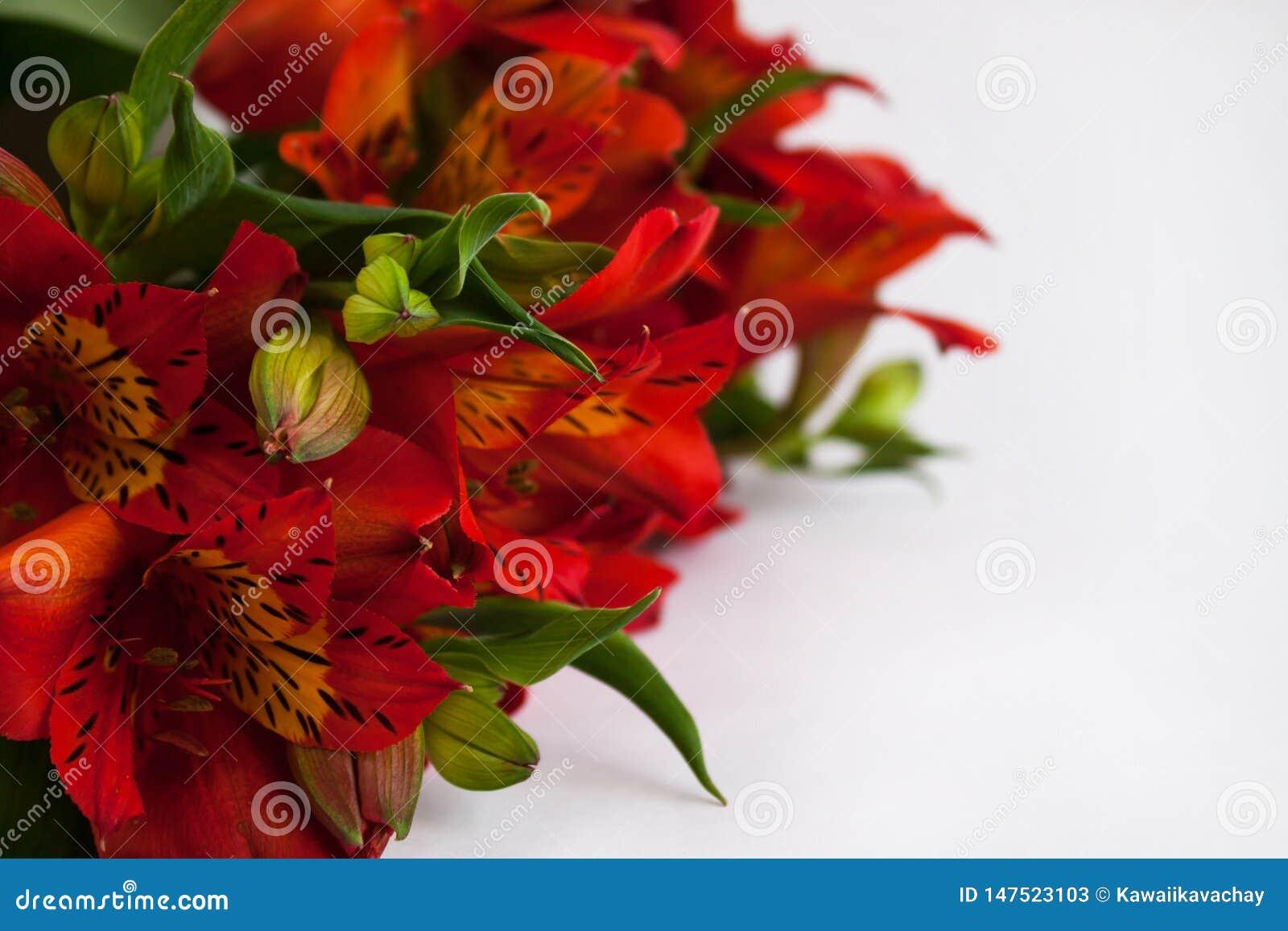 Букет красного Alstroemeria, перуанской лилии или лилии цветков Incas Белая изолированная предпосылка, космос экземпляра