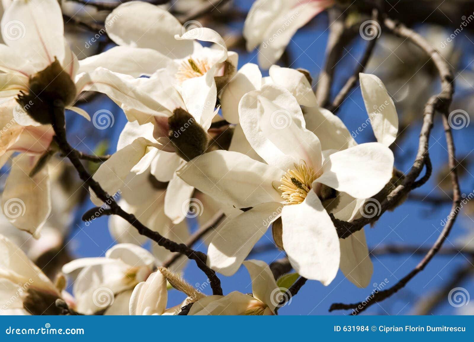 Download букет цветет magnolia стоковое фото. изображение насчитывающей весна - 631984