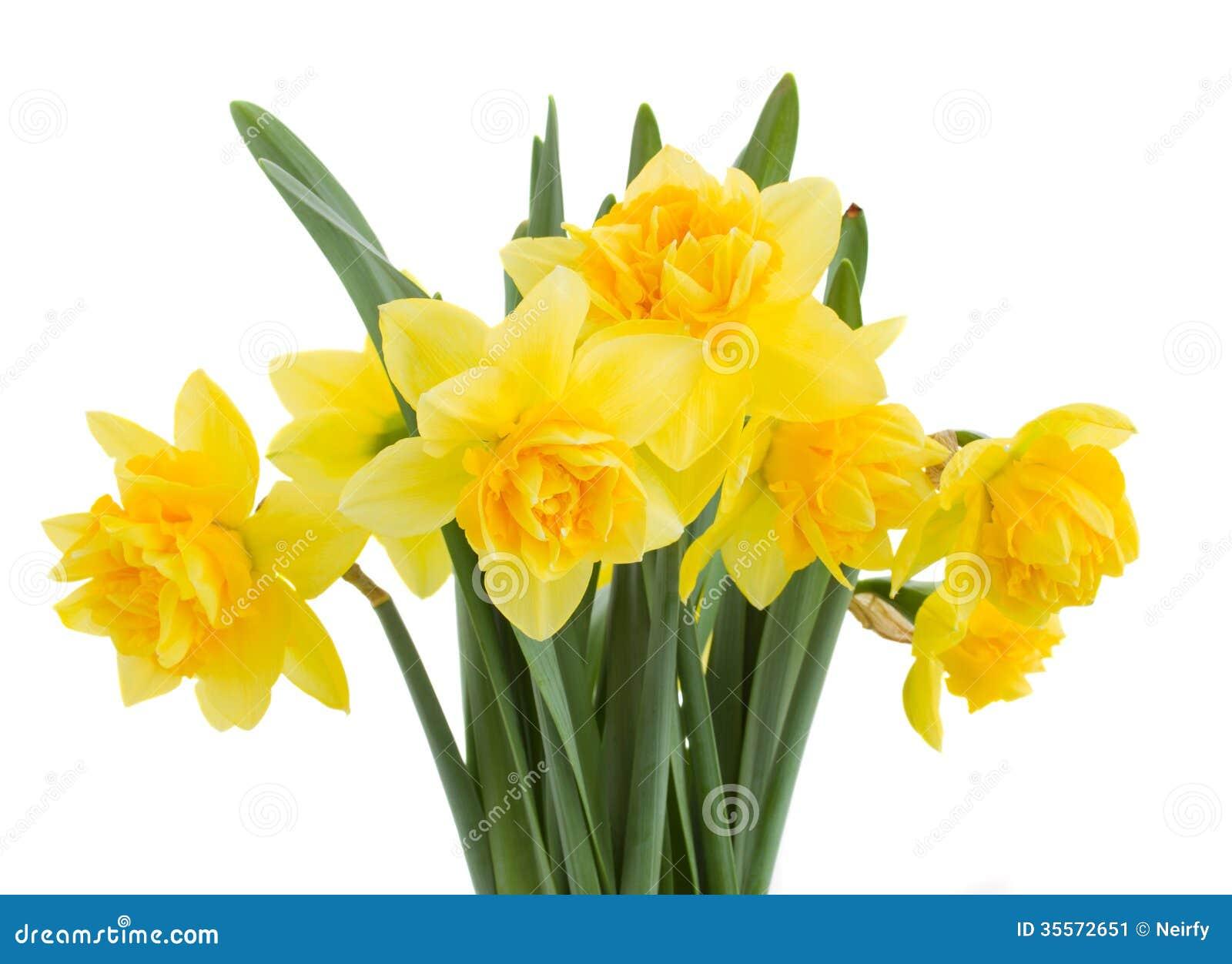 Букет daffodils закрывает вверх