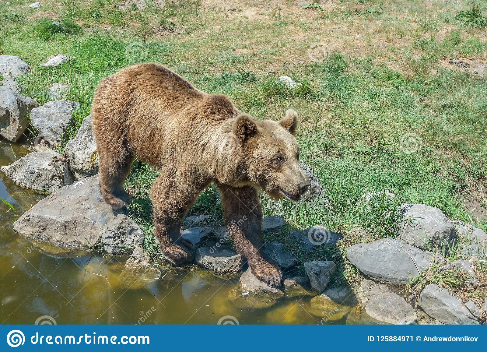 Бурый медведь идет на скалистый берег