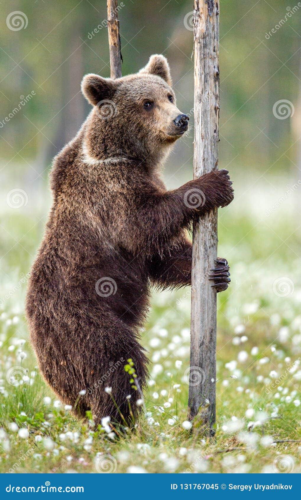 Бурый медведь стоя на его задних ногах в лесе лета среди белых цветков