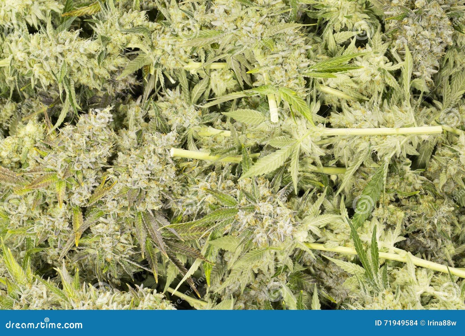 Бутоны марихуаны цветя (конопля), завод пеньки