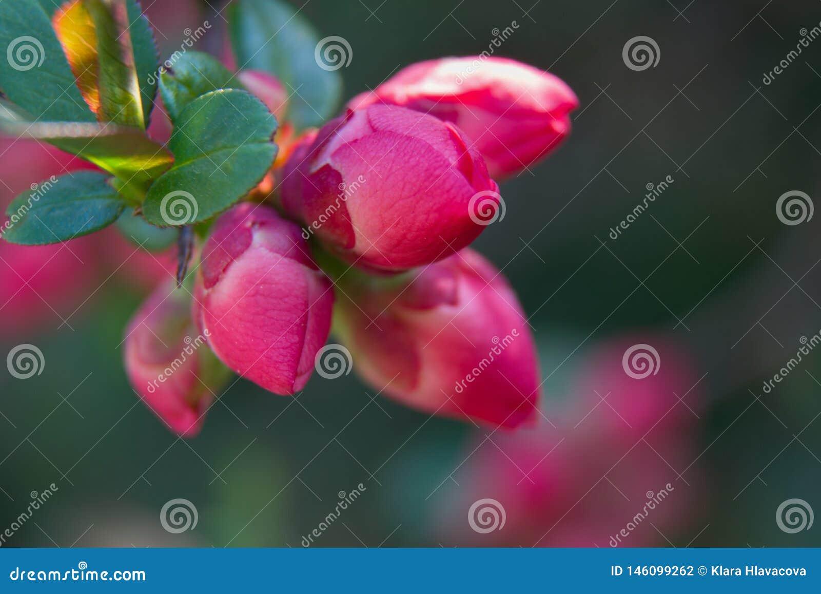 Бутоны цветков вихора oblonga Cydonia на хворостине