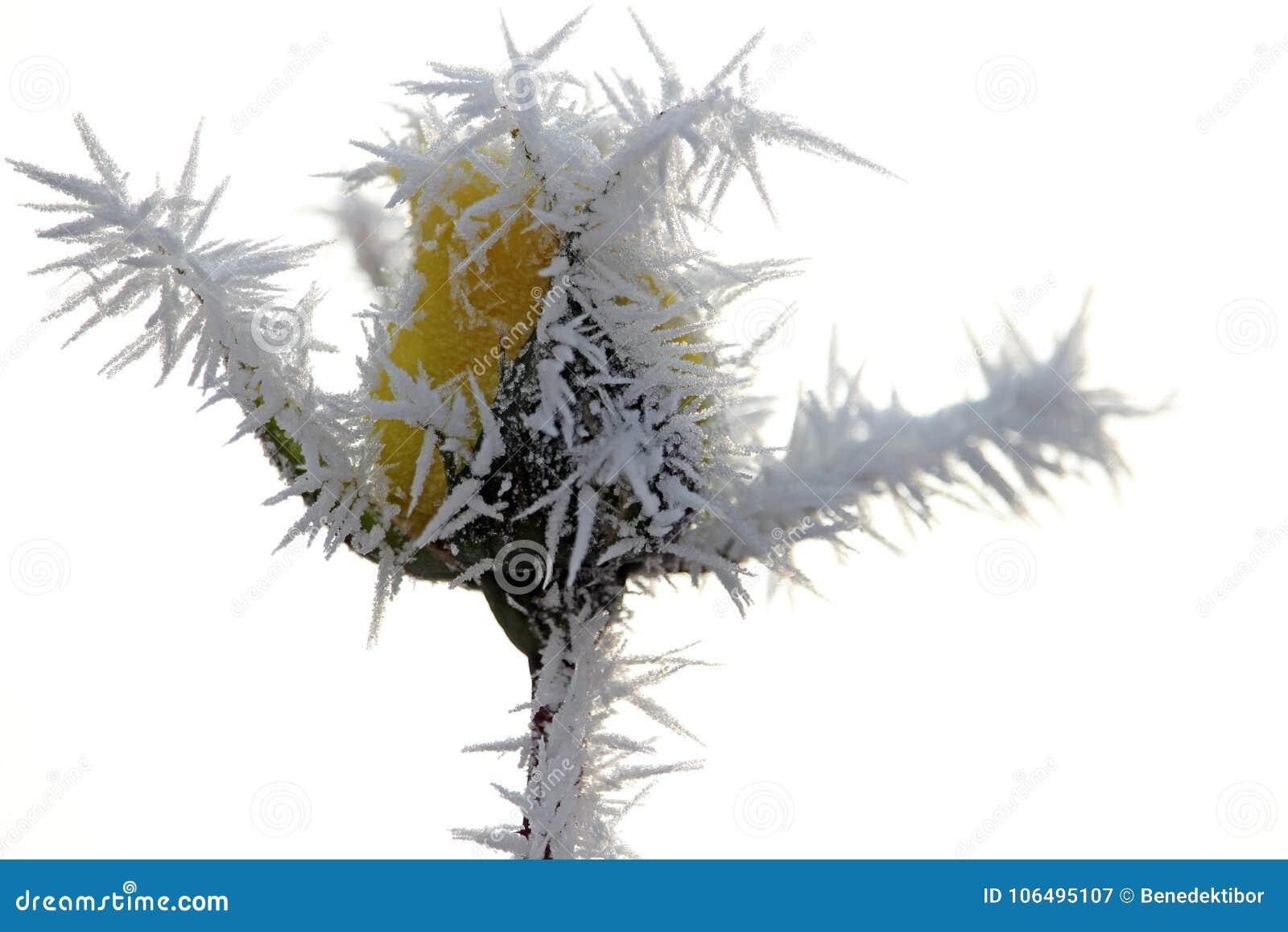 Бутон розы желтого цвета предусматриванный с заморозком утра