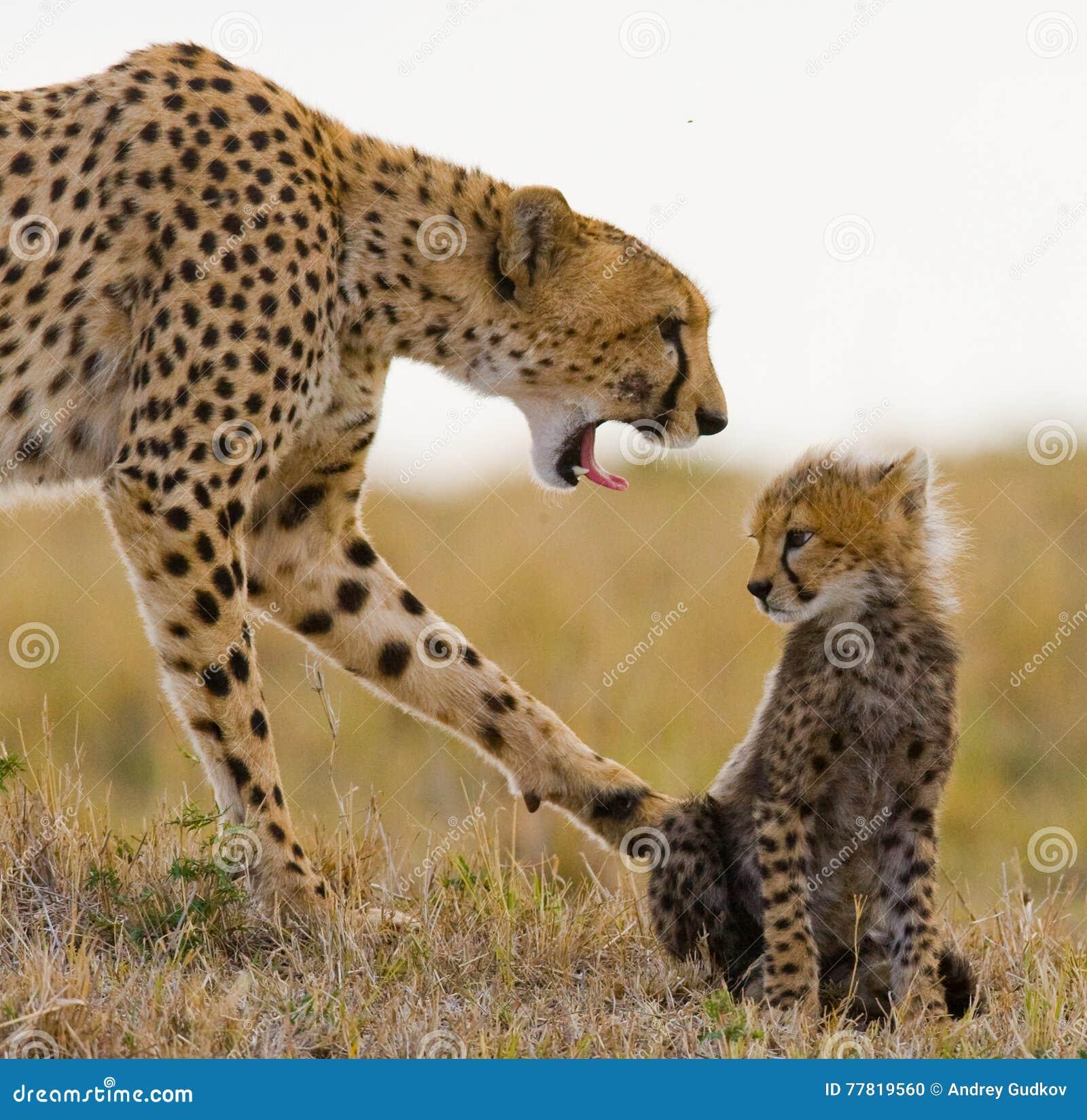 Будьте матерью гепарда и ее новичка в саванне Кения Танзания вышесказанного Национальный парк serengeti Maasai Mara