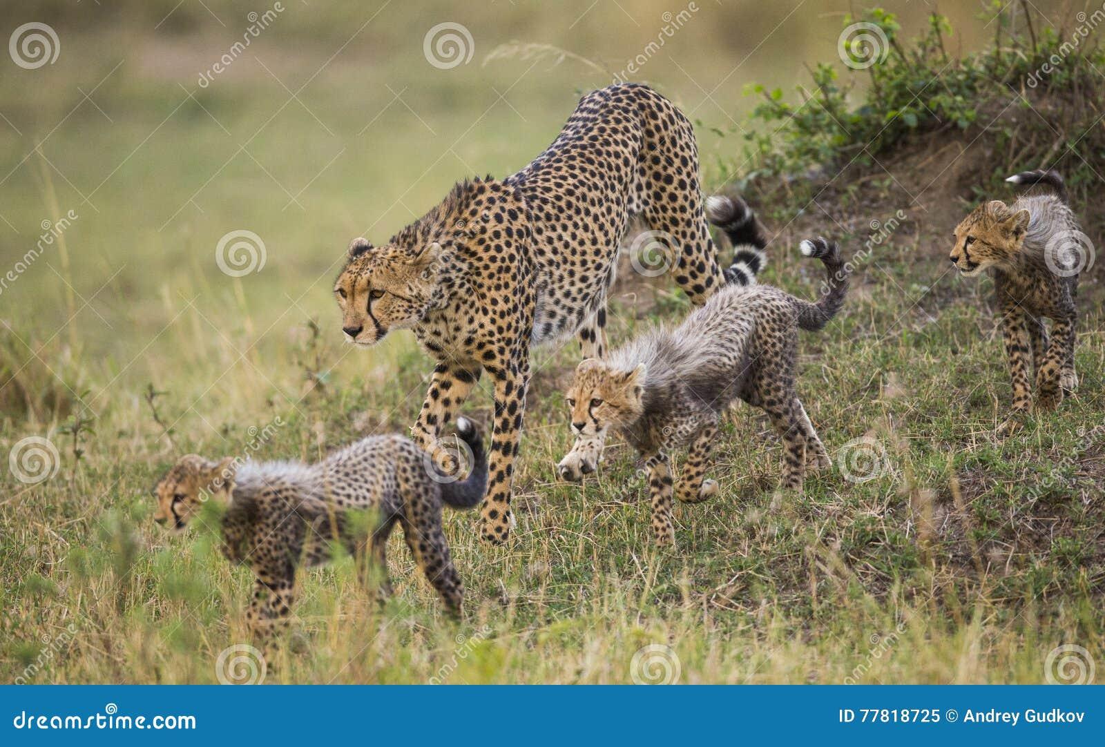 Будьте матерью гепарда и ее новичков в саванне Кения Танзания вышесказанного Национальный парк serengeti Maasai Mara