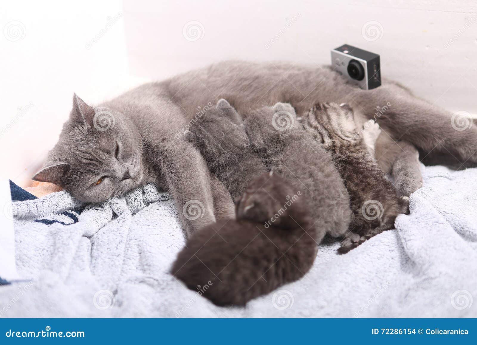 Download Будьте матерью кота кормя ее младенцев грудью, камеры действия на сцене Стоковое Фото - изображение насчитывающей от, великобританское: 72286154