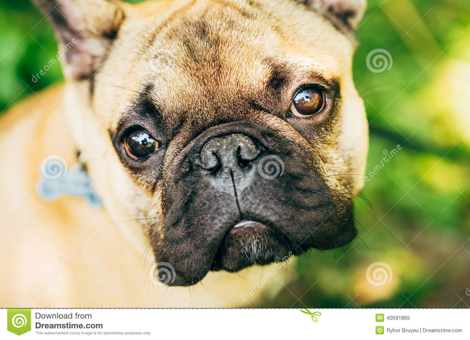 Бульдог собаки французский