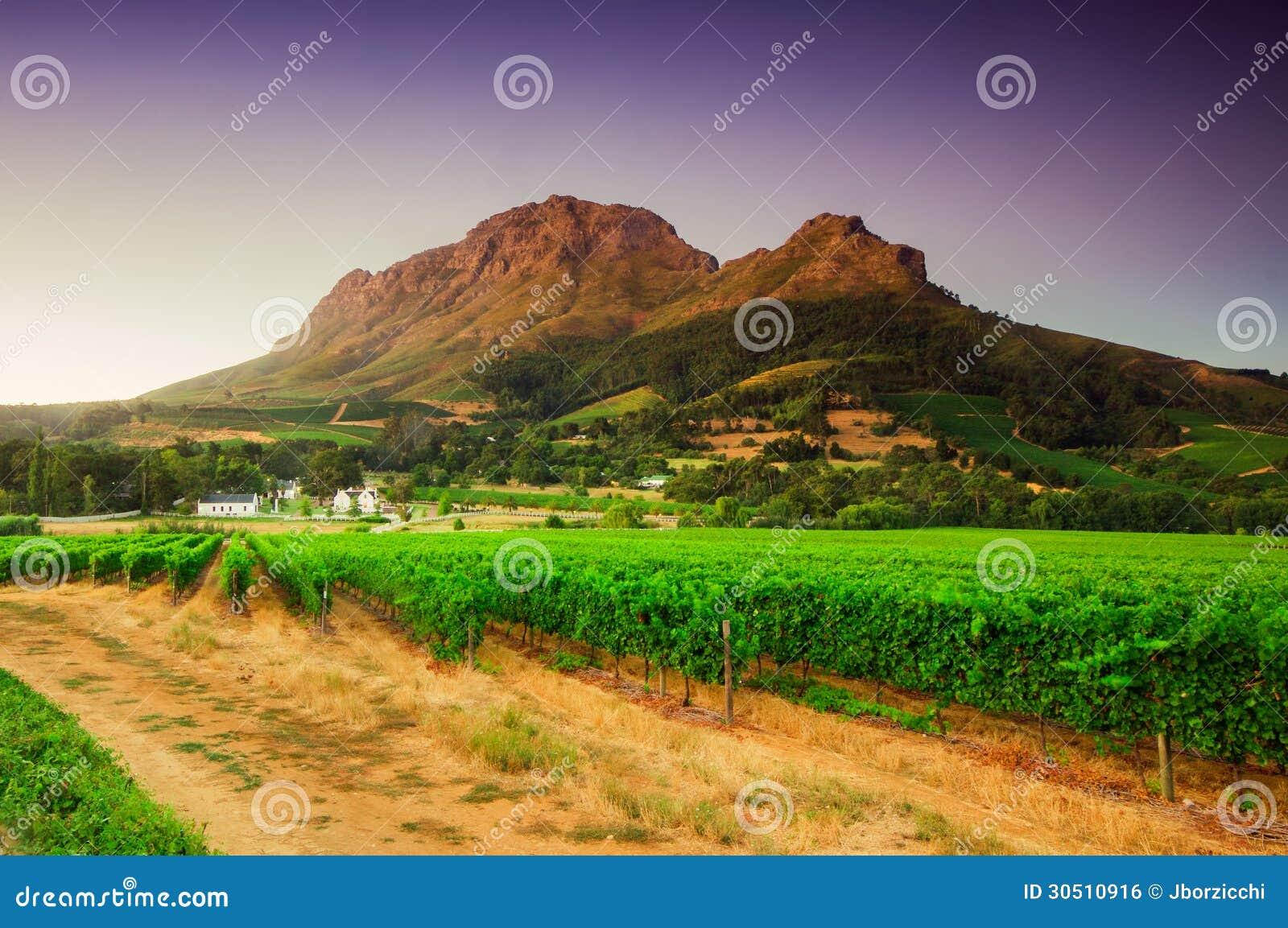 Благоустраивайте изображение виноградника, Stellenbosch, Южную Африку.