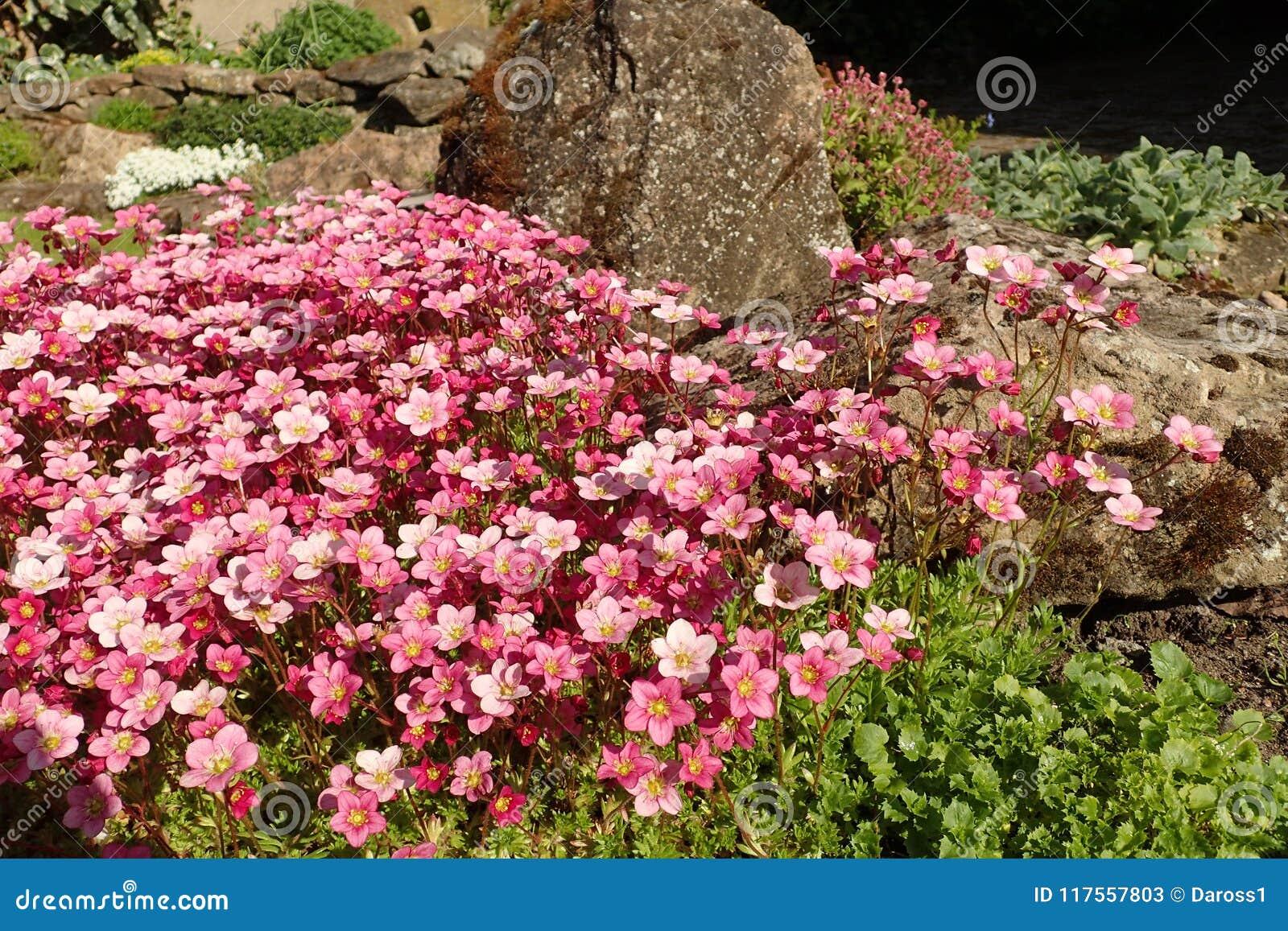 ` Валика серебра ` Saxifraga, с цветками полностью зацветает в rockery