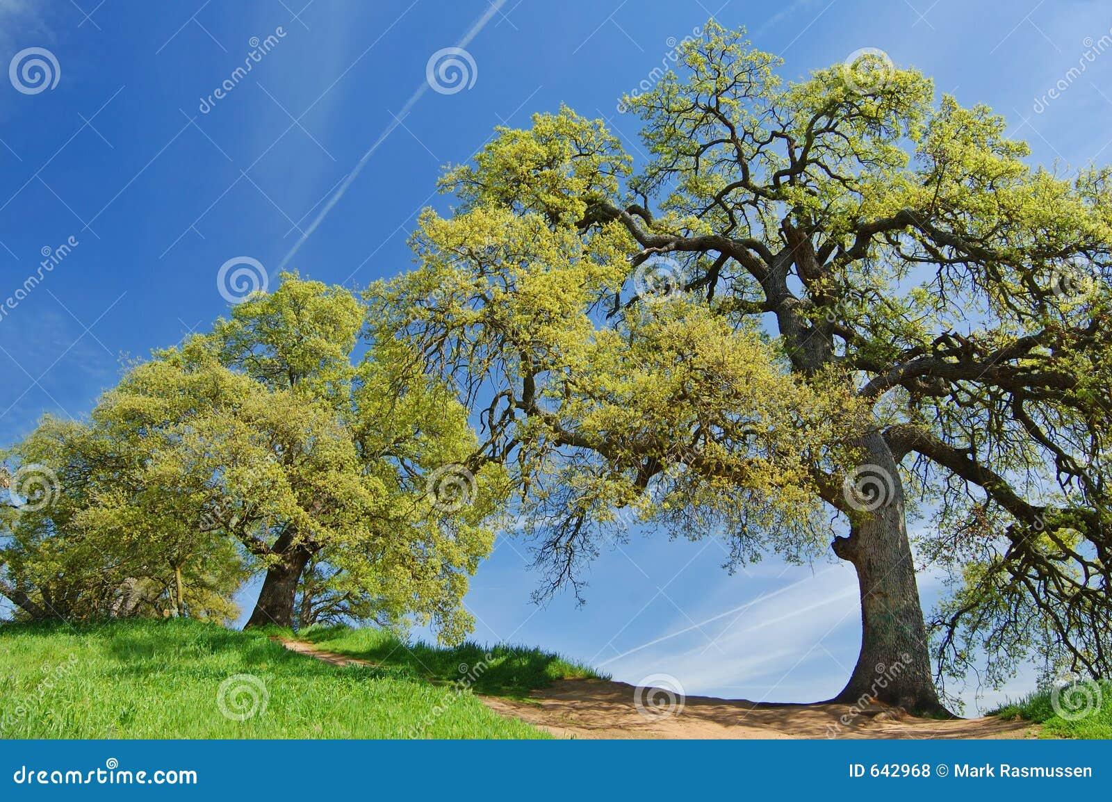 Download валы весны дуба стоковое фото. изображение насчитывающей ново - 642968