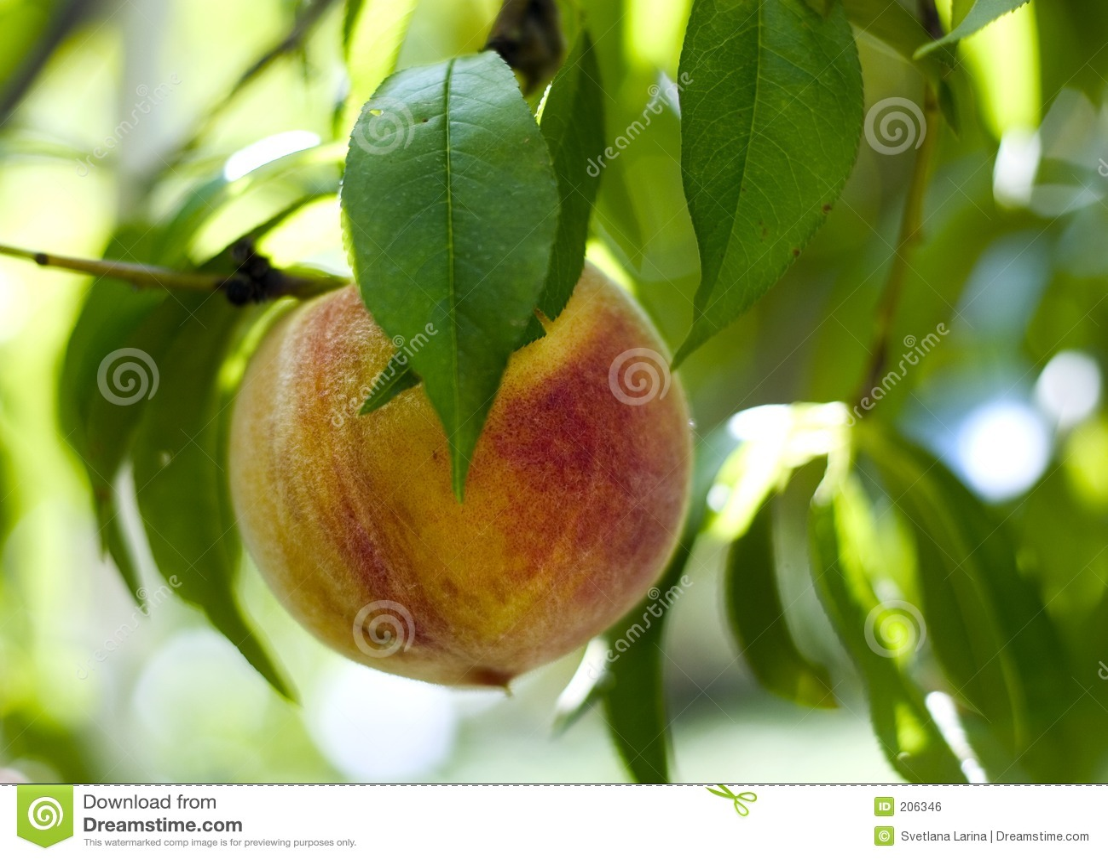 вал богачей персика харча