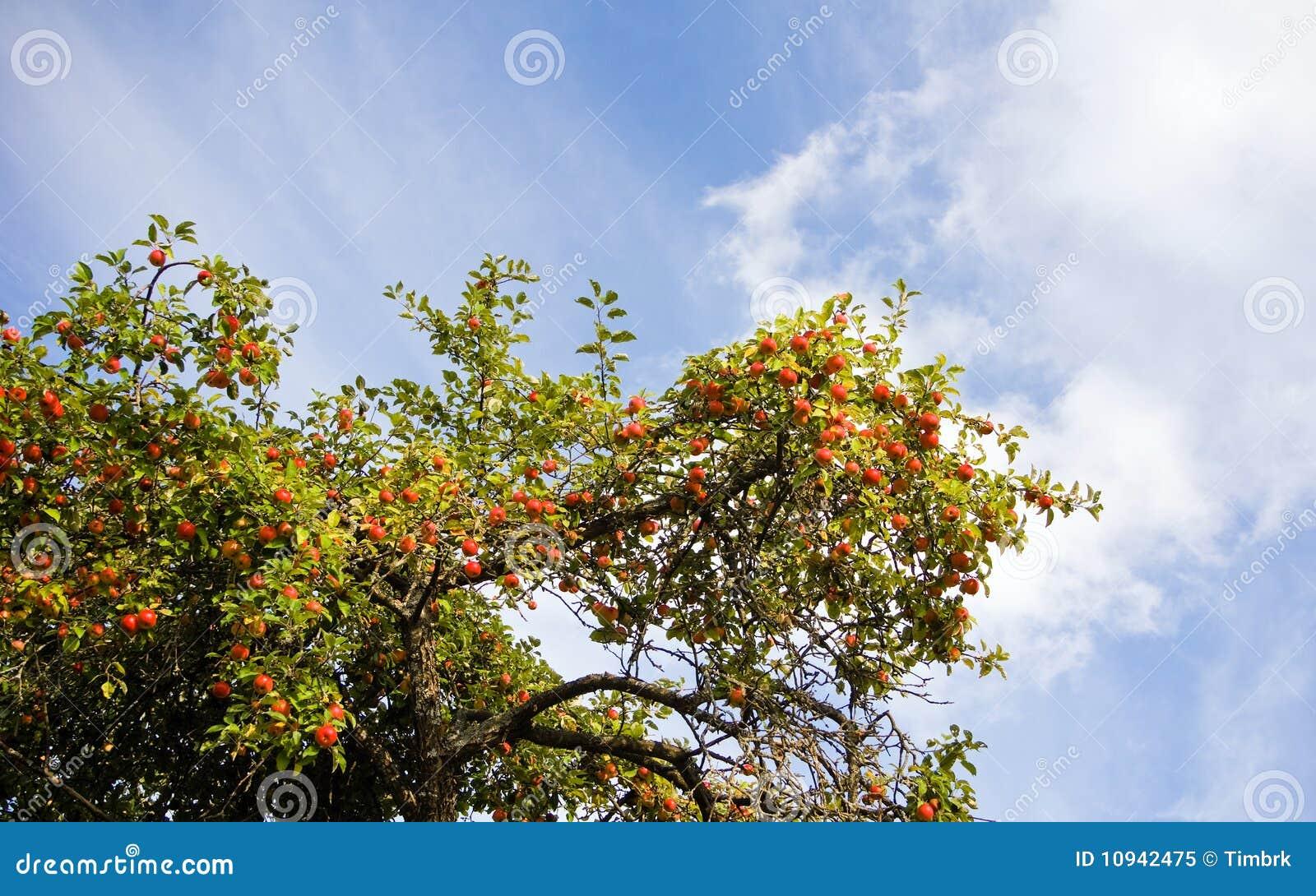 вал ветви яблока