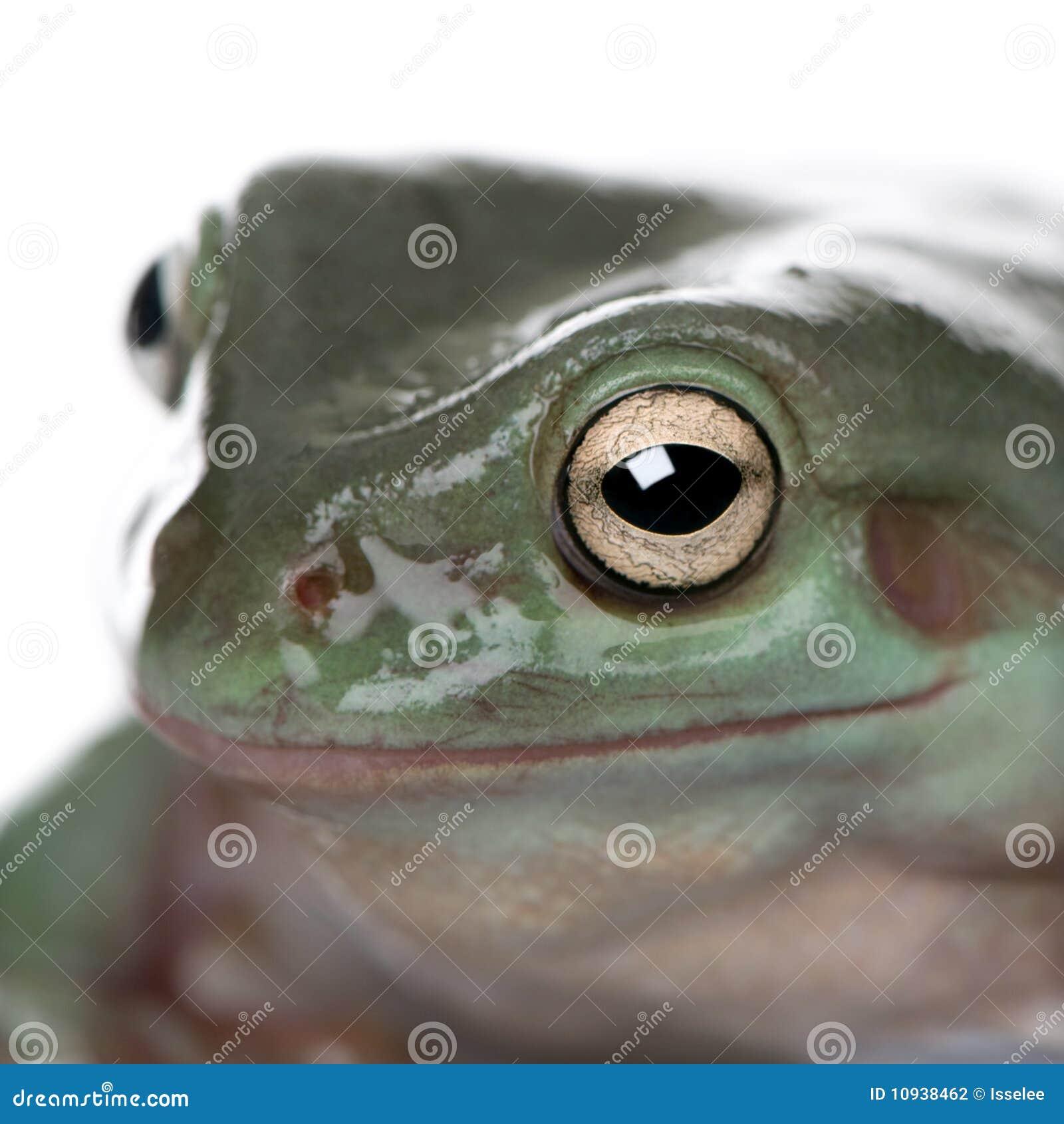 вал зеленого цвета лягушки австралийца близкий вверх
