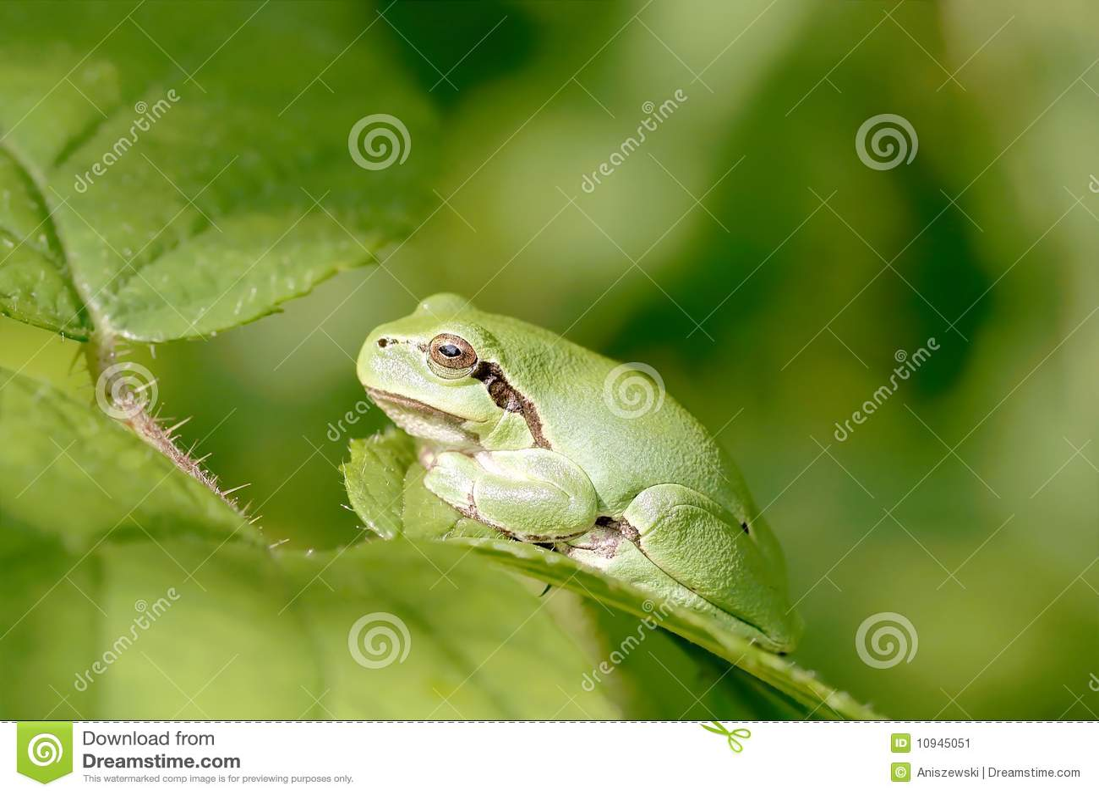 вал листьев лягушки зеленый