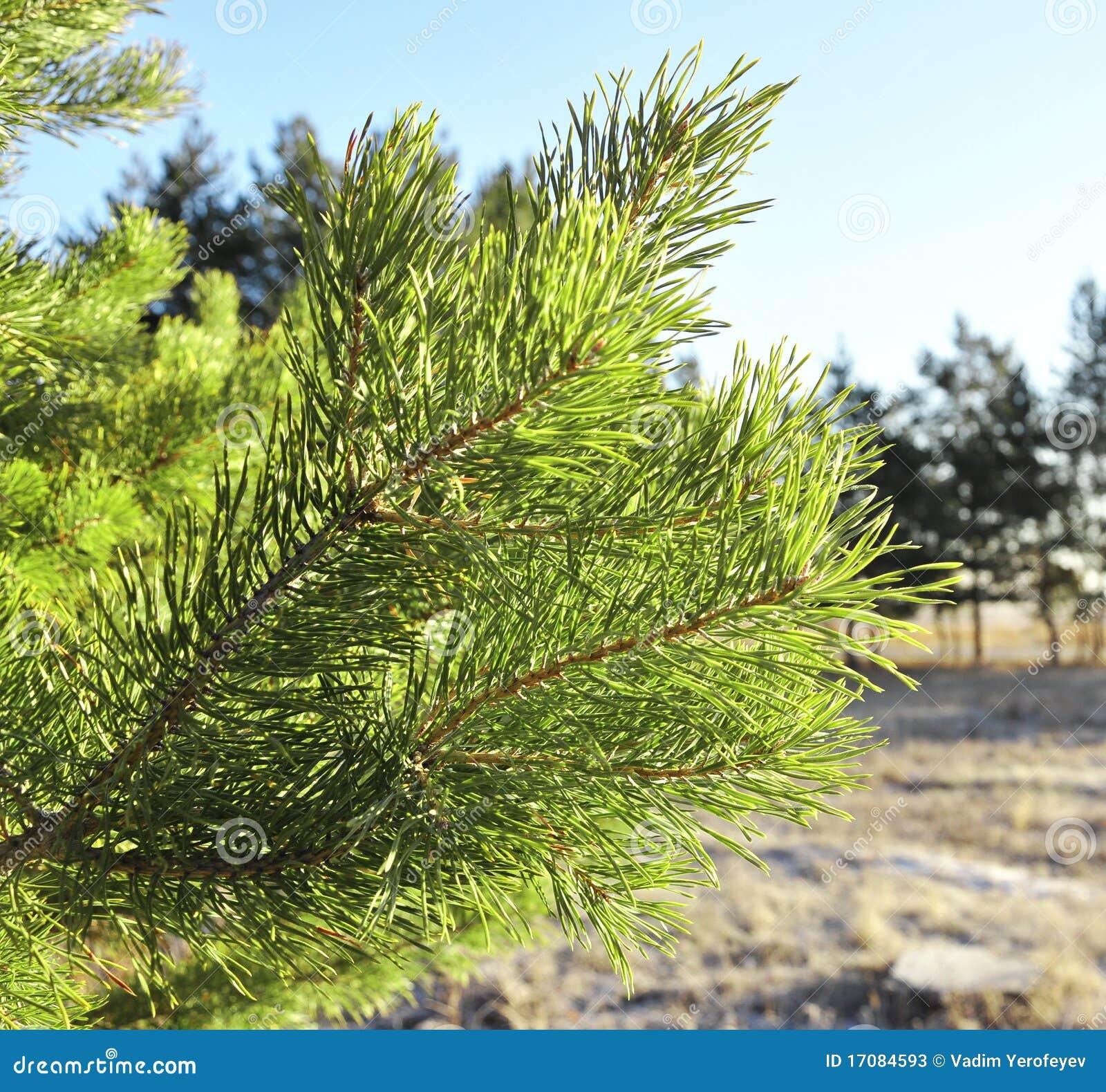 вал сосенки ветви зеленый