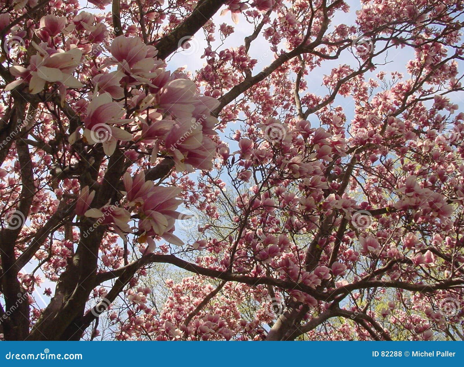 вал magnolia