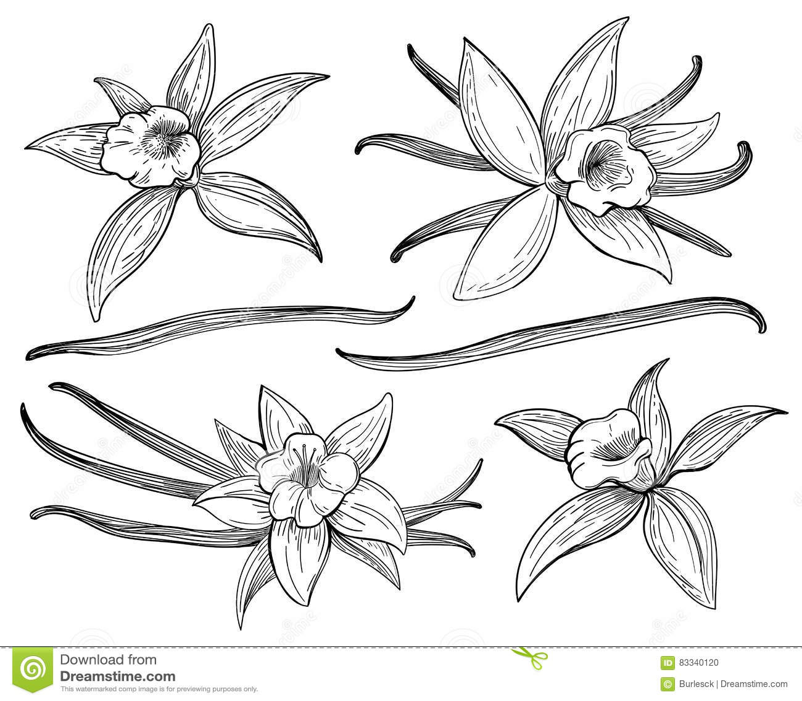 Ванильные стручки или ручки вручают эскизы чертежа изолированные на белой предпосылке Ванили doodle пряная иллюстрация вектора тр