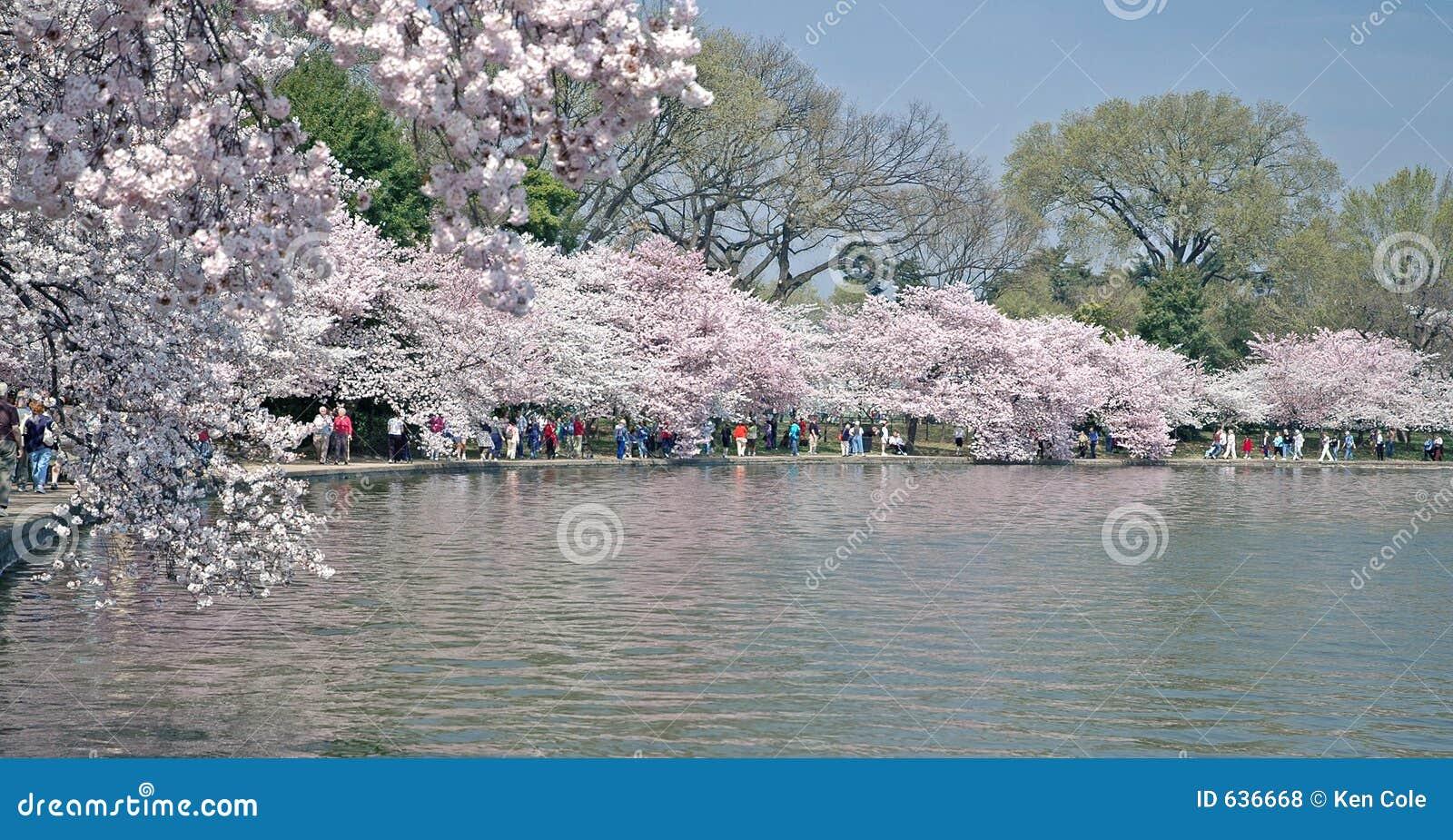 Download вашингтон Dc цветеня тазика польностью приливный Стоковое Фото - изображение насчитывающей упование, парк: 636668
