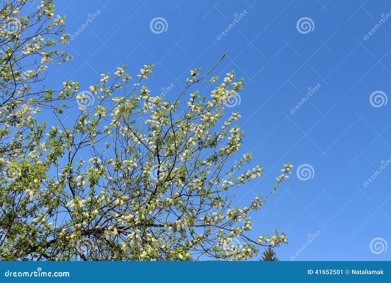 вал prunus padus вишни птицы