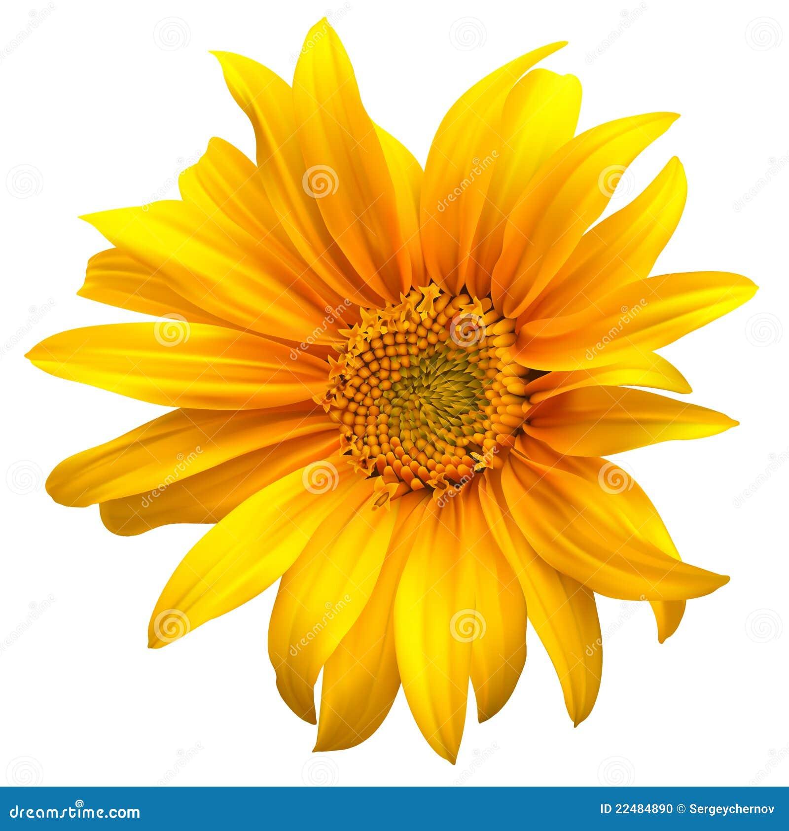 вектор солнцецвета цветка