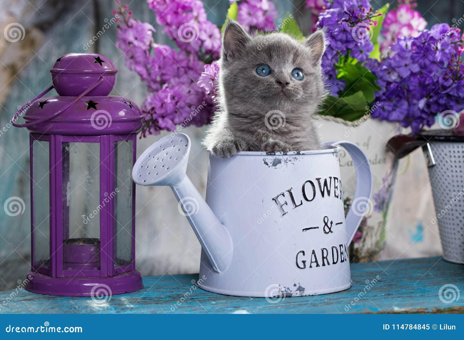 Великобританские котенок и цветки shorthair