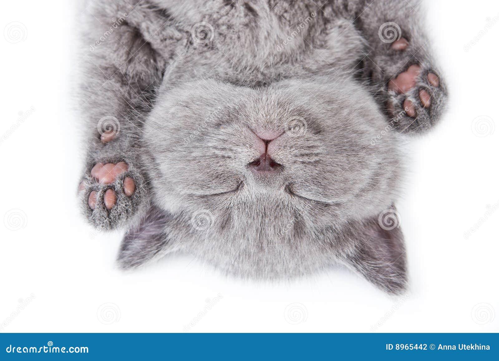 великобританский котенок