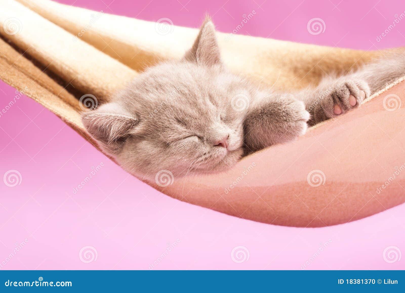 великобританский спать котенка