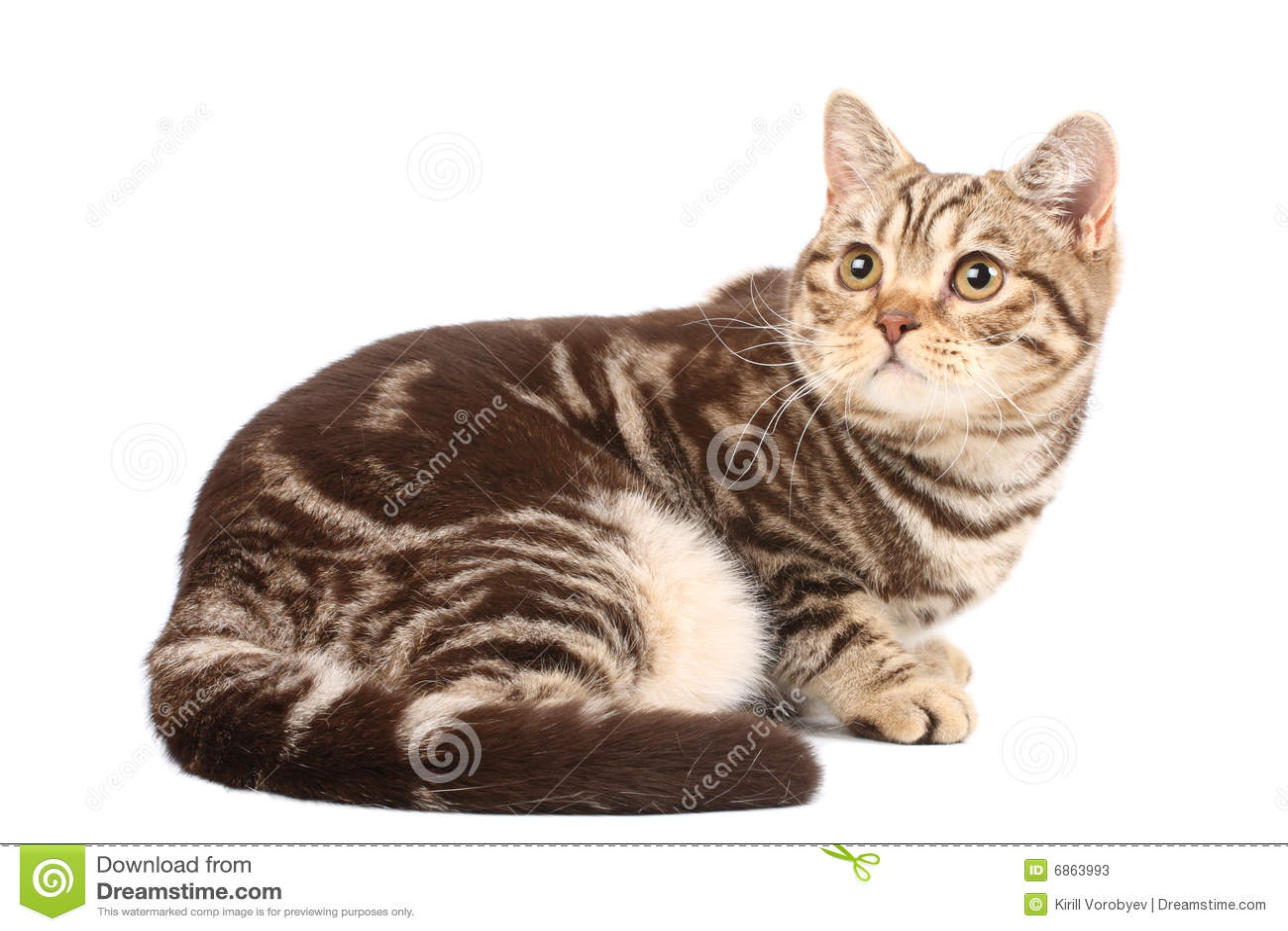 великобританский tabby кота