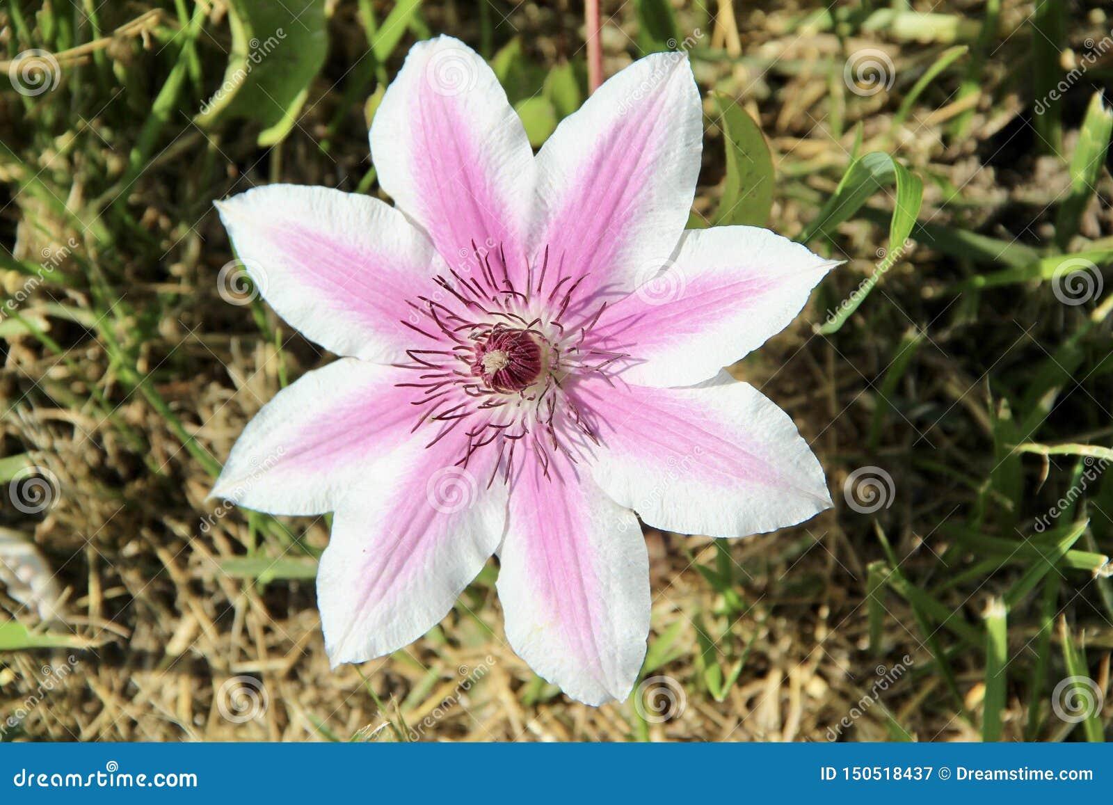 Великолепный цветок пинка и белых clematis, интересы природы