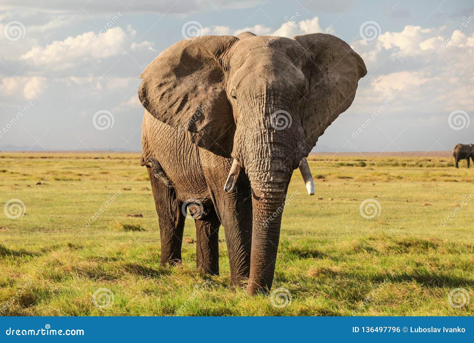 Величественное африканское africana Loxodonta слона куста на саванне зеленой травы плоской смотря в камеру