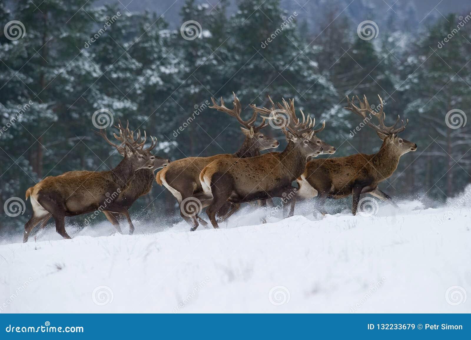 Величественное животное гордо нося его antlers