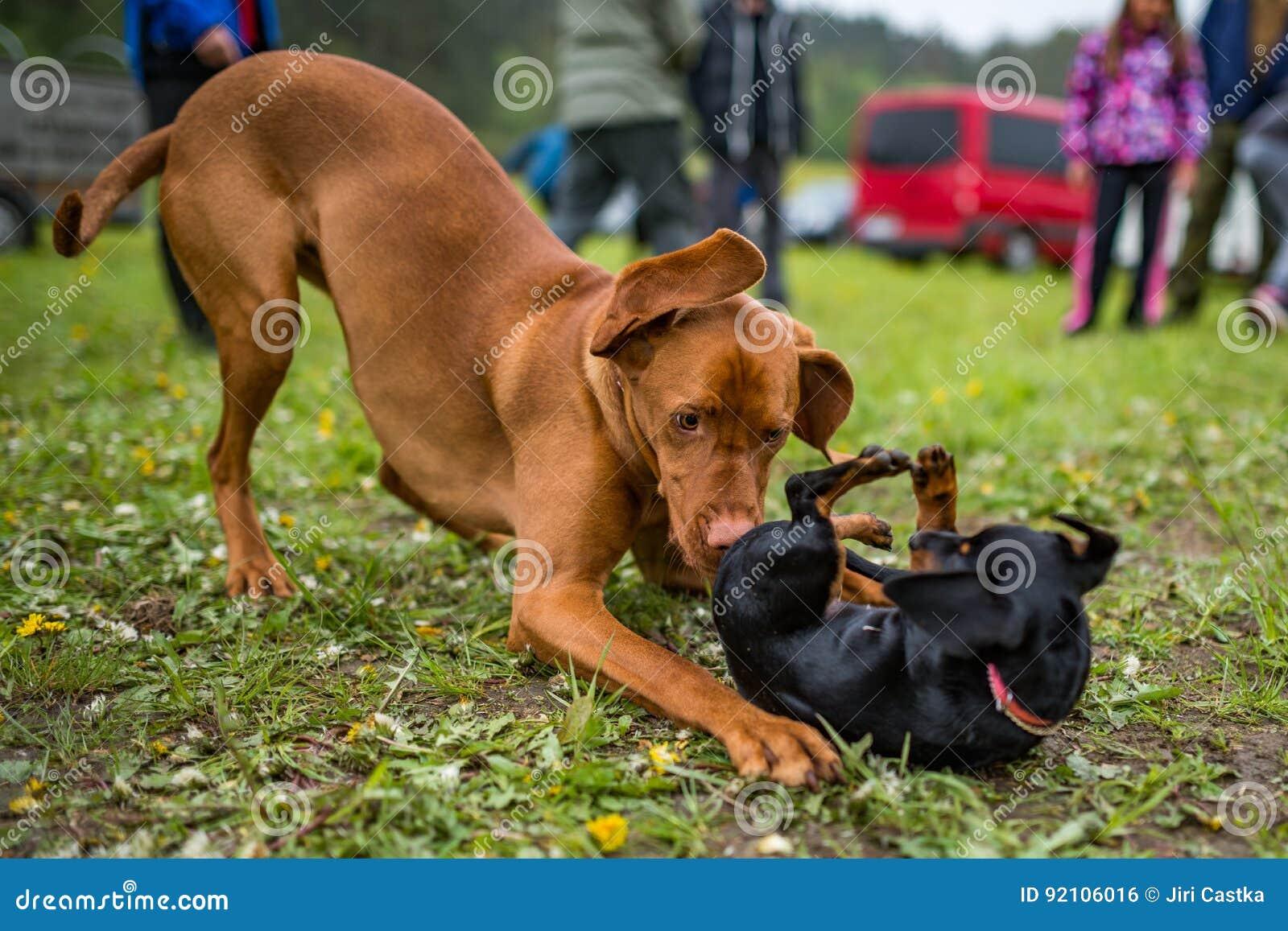 Венгерская short-haired указывая собака