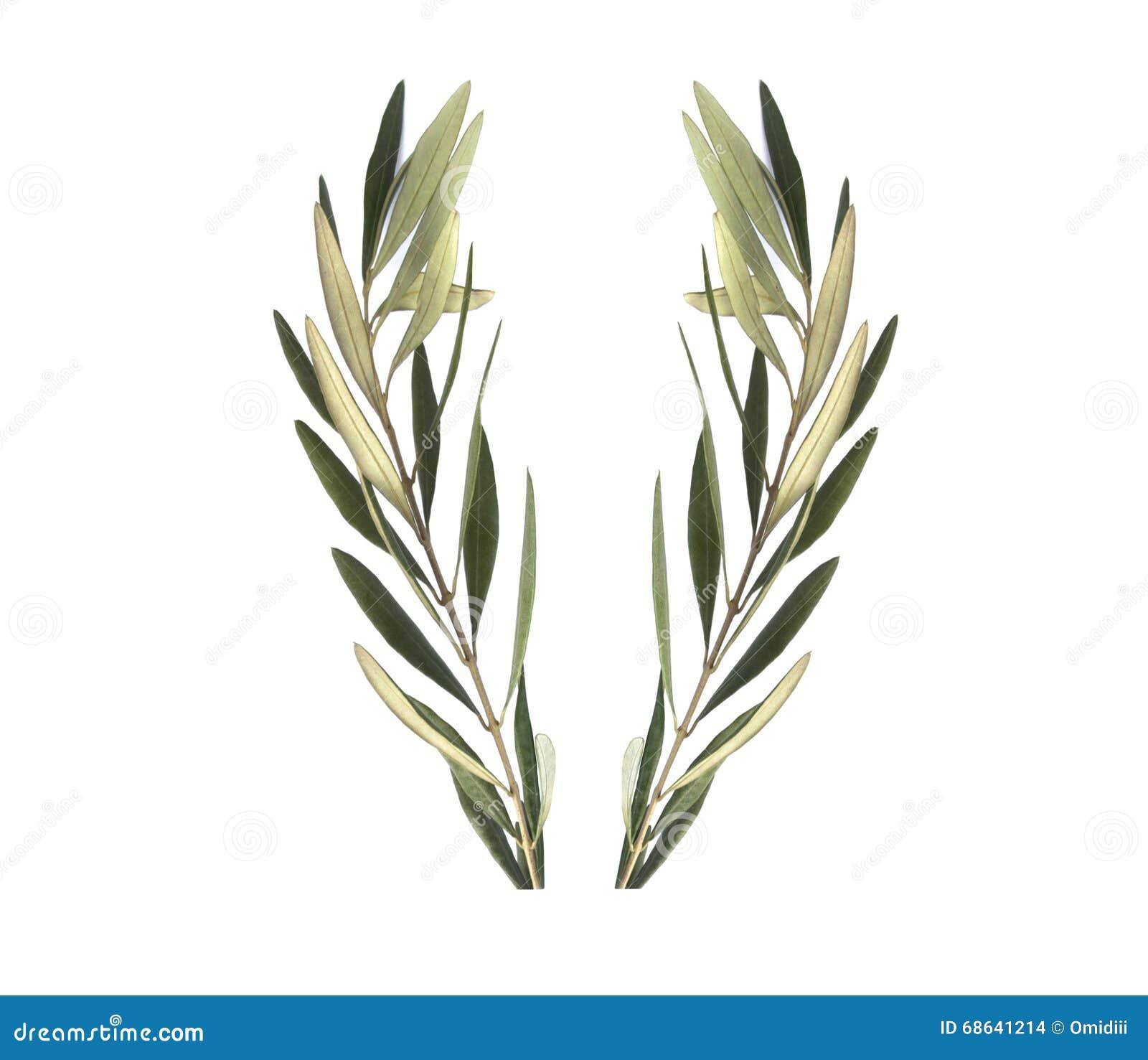 Венок оливки оливковой ветки