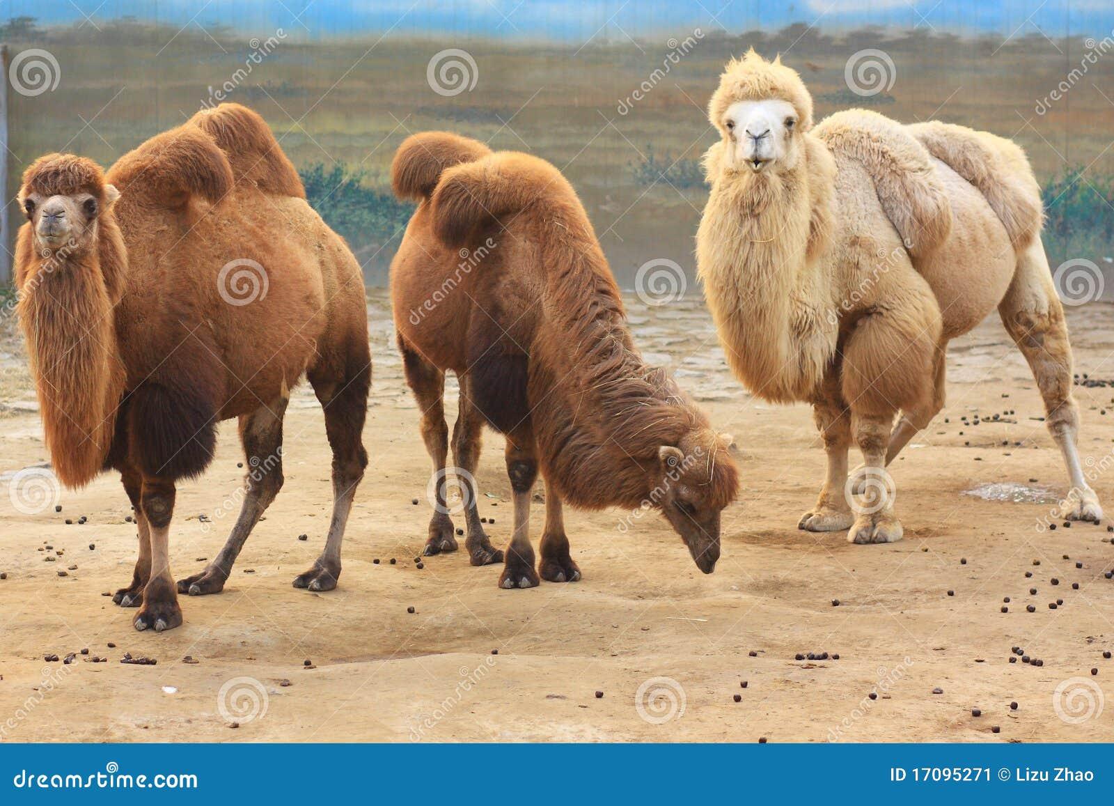 верблюды 3