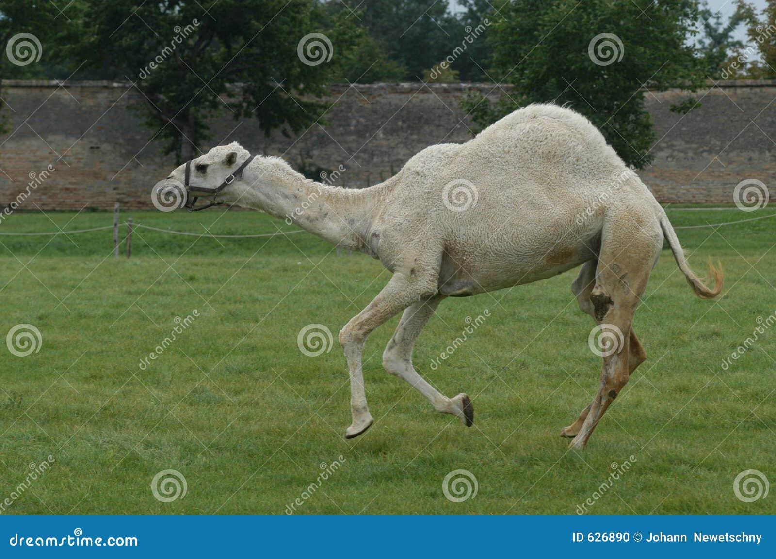 Download верблюд стоковое фото. изображение насчитывающей скачка - 626890