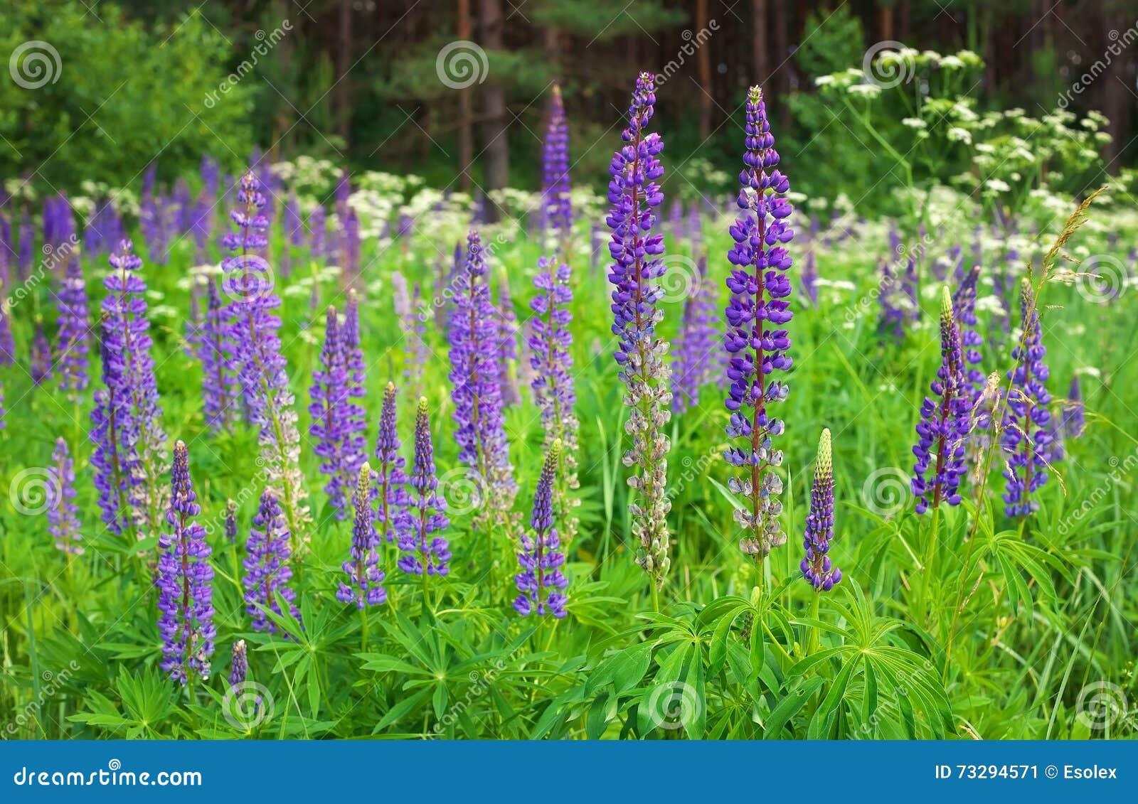Трава похожая на иван-чай с фиолетовыми цветами