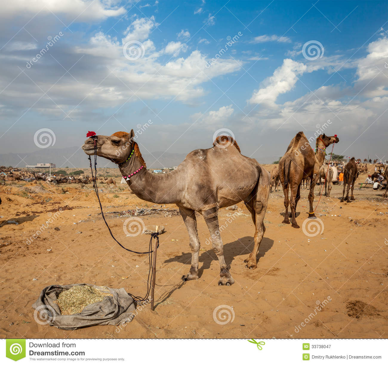 Верблюды на Pushkar Mela (верблюде справедливом), Индии Pushkar