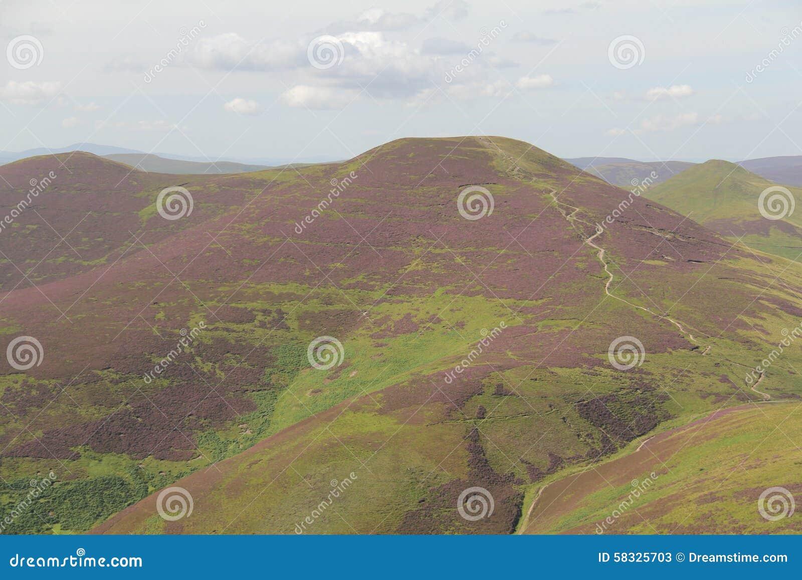 Вереск в холмах Pentland около Эдинбурга, Шотландии