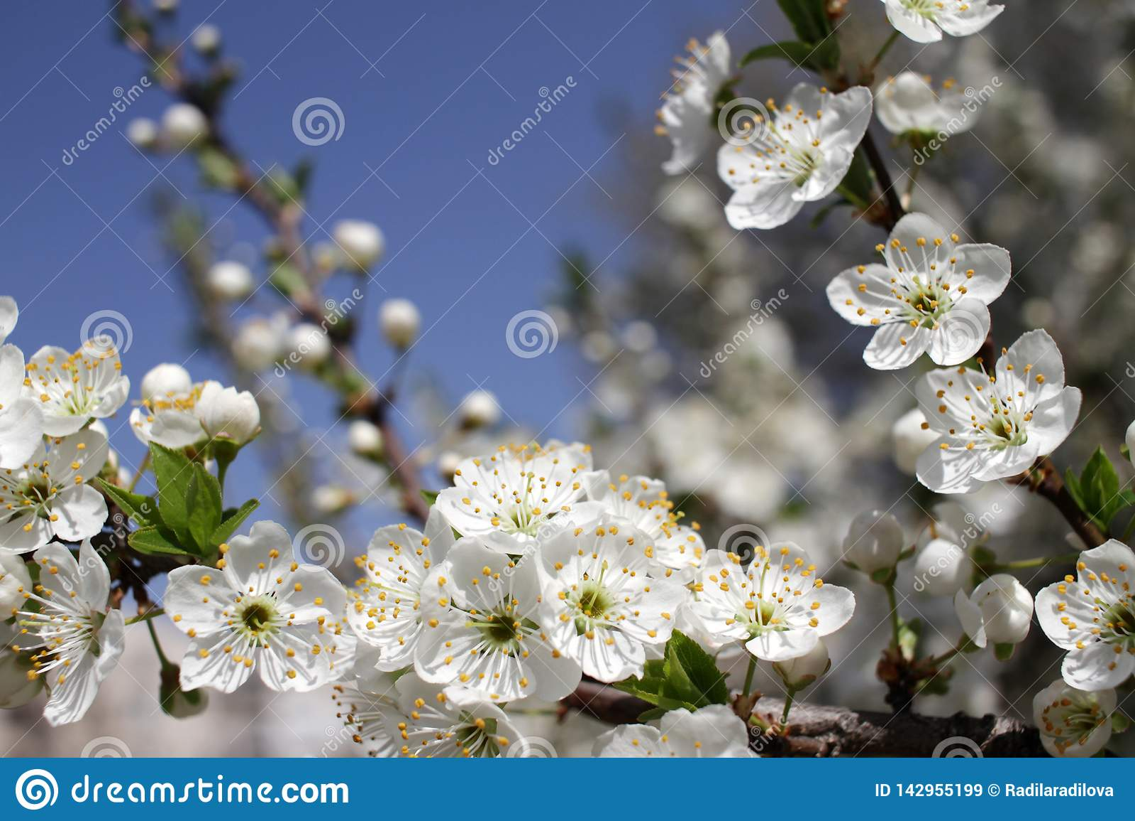 Весеннее время и зацветая дерево