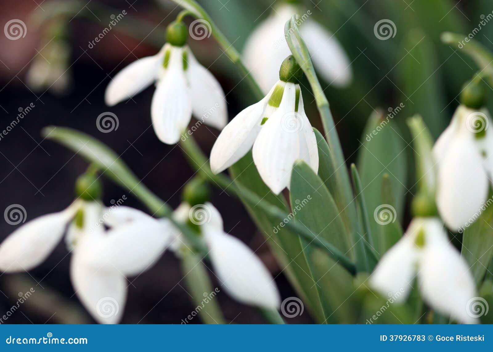 Весенний сезон Snowdrops