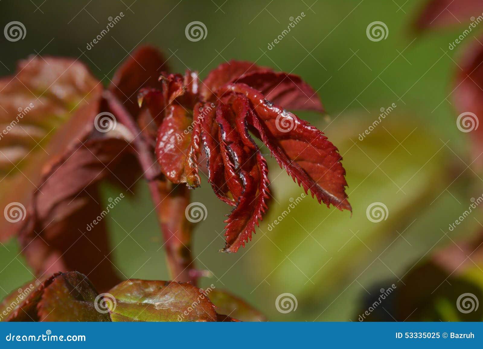 У розы красные листья