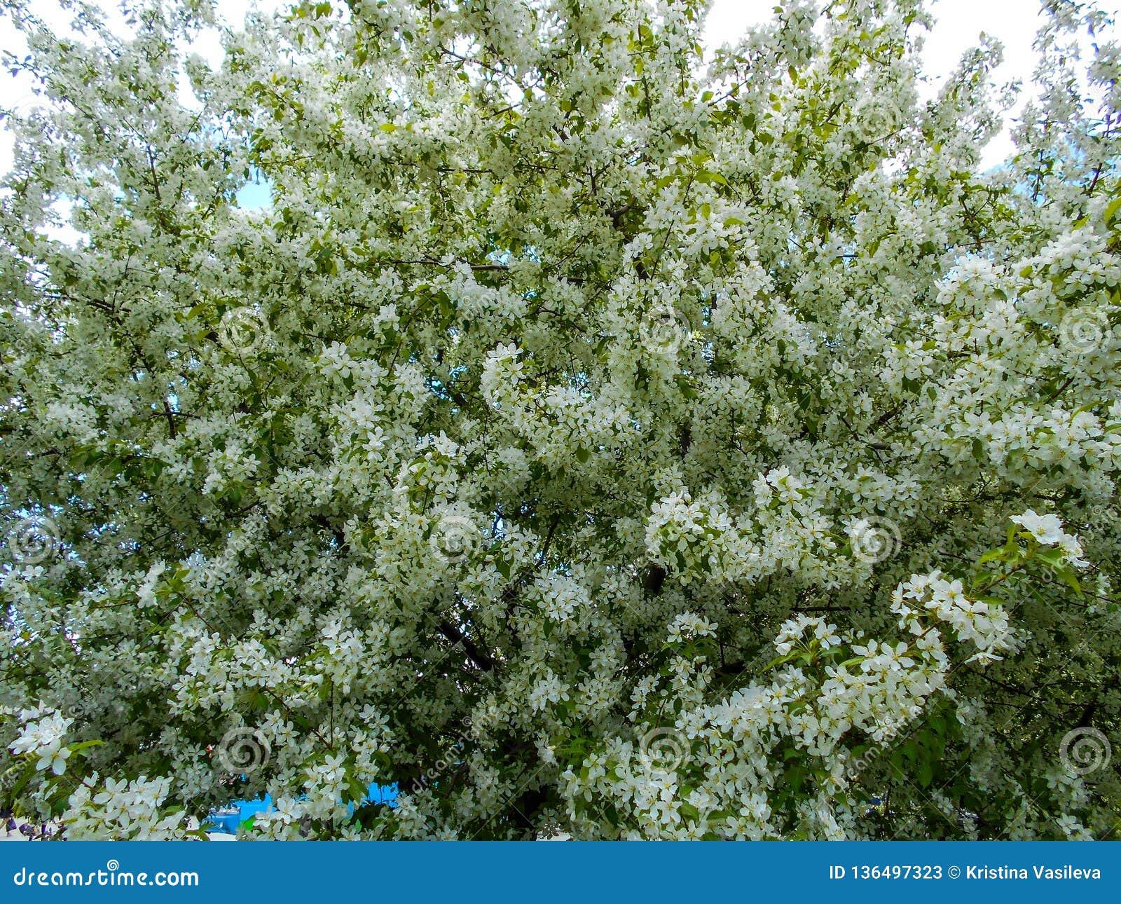 весна цветений яблока Ветви blossoming дерева