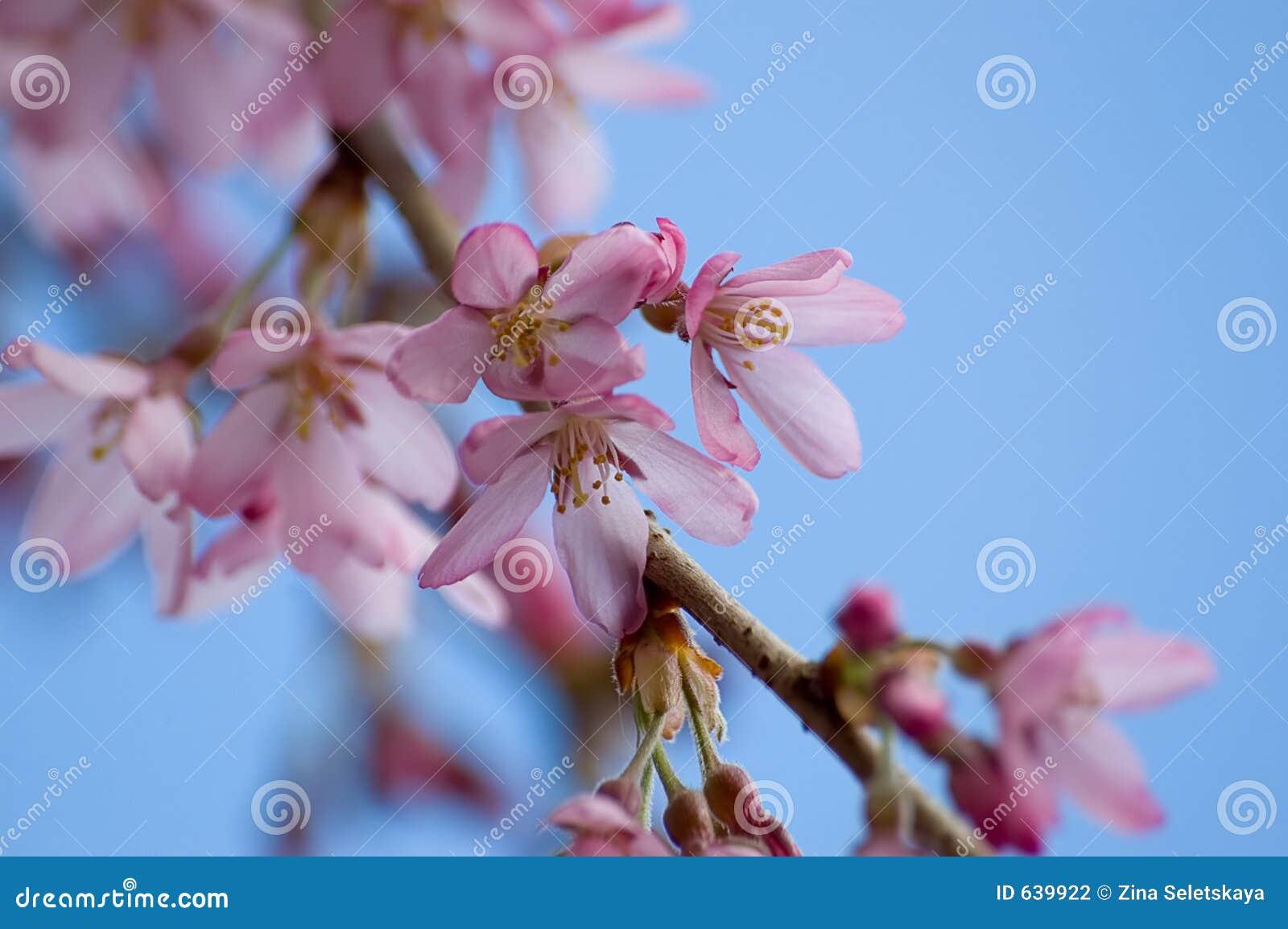 Download весна цветеня стоковое фото. изображение насчитывающей чернослив - 639922
