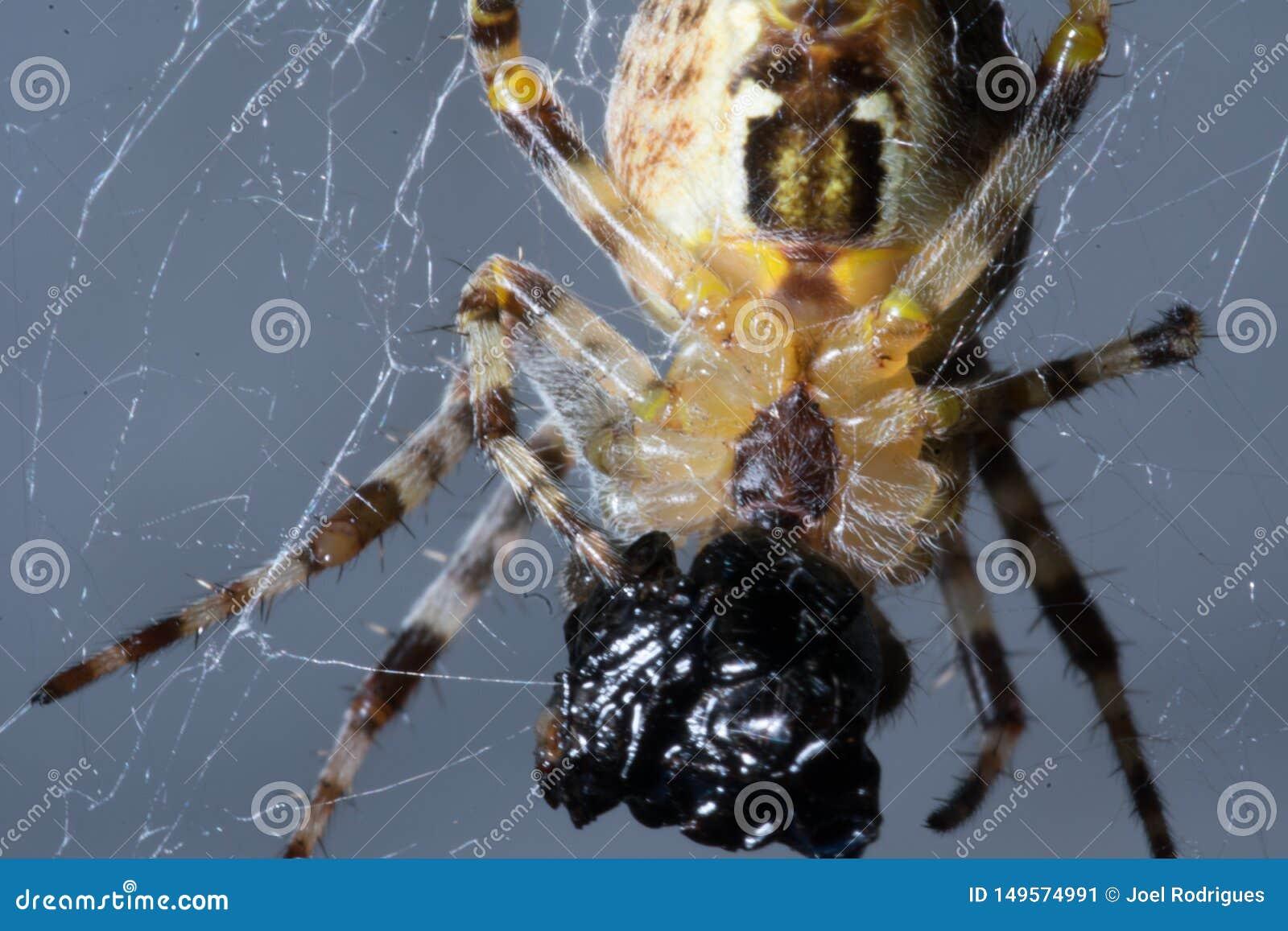 Весьма крупный план небольшого паука пируя на добыче